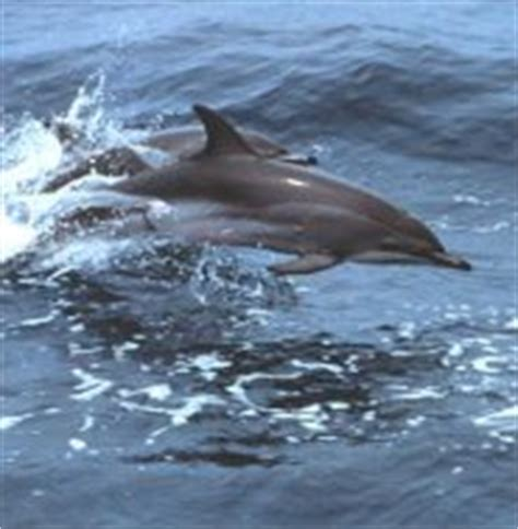 Clymene Dolphin - the Mustachioed Spinner - pictures and facts