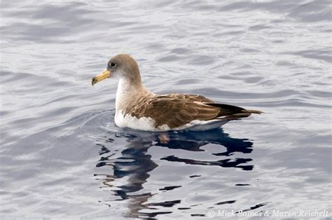 Cory's shearwater resting on the sea, Pico, Azores
