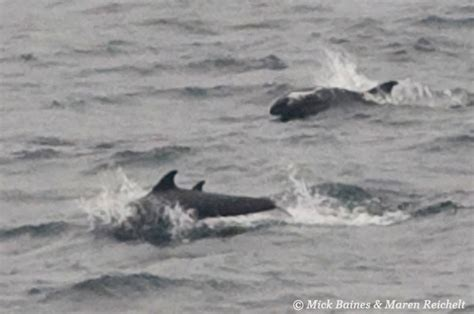 Melon-headed whales rushing along at the surface, Gabon